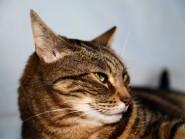 Το λέμφωμα της γάτας