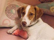 Winston, ημ. Jack Russel Terrier αναζητά την παντοτινή του οικογένεια