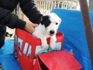 Cora,  2 μηνών κουταβάκι ψάχνει σπιτάκι