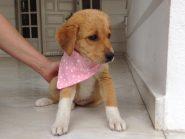 Η γλυκειά Lisa, 2.5 μηνών ημ.Λαμπραντοράκι, αναζητά οικογένεια