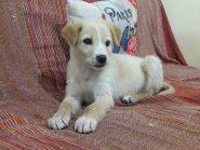 Oscar, 2 μηνών κουταβάκι, ψάχνει οικογένεια
