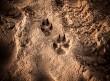 Συμμετρική λυκοειδής ονυχοδυστροφία στο σκύλο