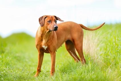Ουρολιθίαση στους σκύλους