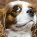 Επεισοδιακή κατάρρευση των σκύλων της φυλής Cavalier King Charles Spaniel (video)