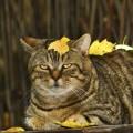 Σακχαρώδης διαβήτης στη γάτα