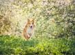 Υποθυρεοειδισμός στο σκύλο