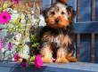 Collapsus τραχείας στο σκύλο